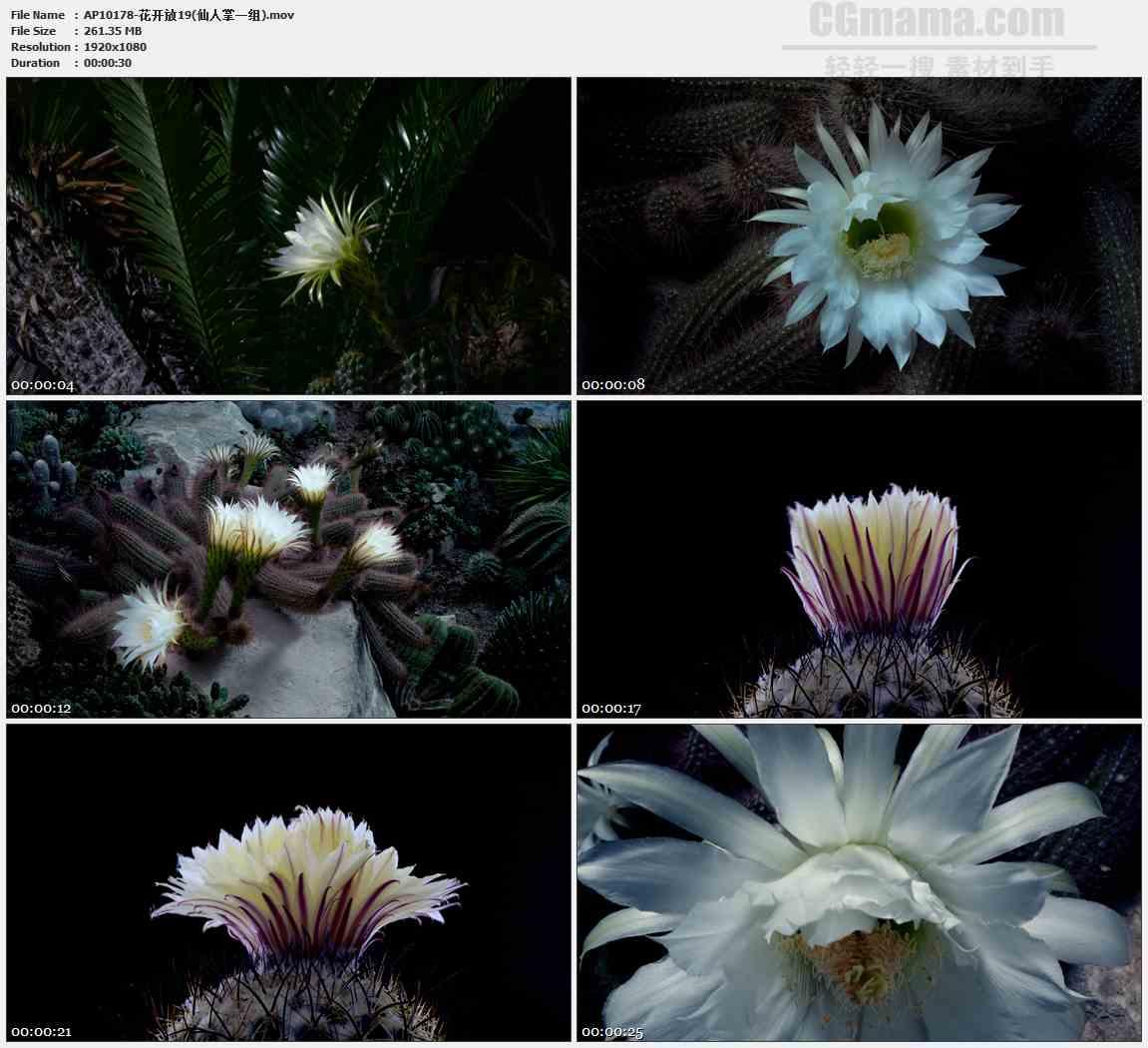 AP10178-白色仙人掌花盛开高清实拍视频素材