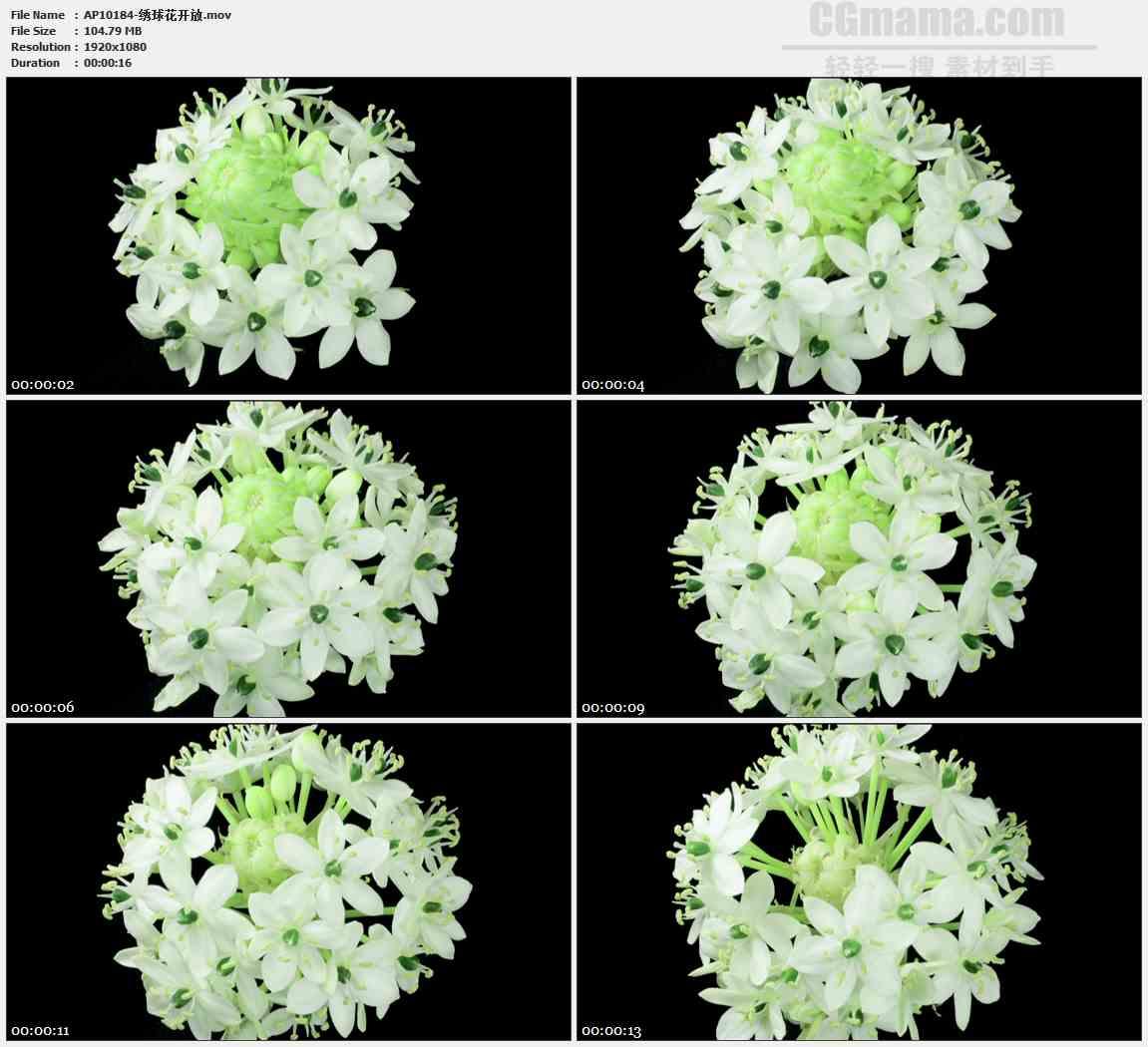 AP10184-绒花团花绣球盛开生长高清实拍视频素材