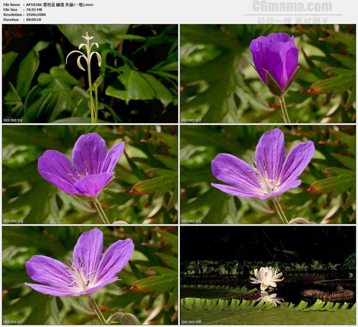 AP10186-白色紫色小花睡莲盛开高清实拍视频素材