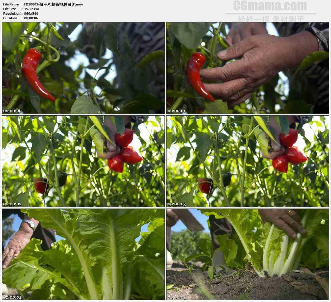 FD10001-掰玉米摘辣椒拨白菜农作高清实拍视频素材