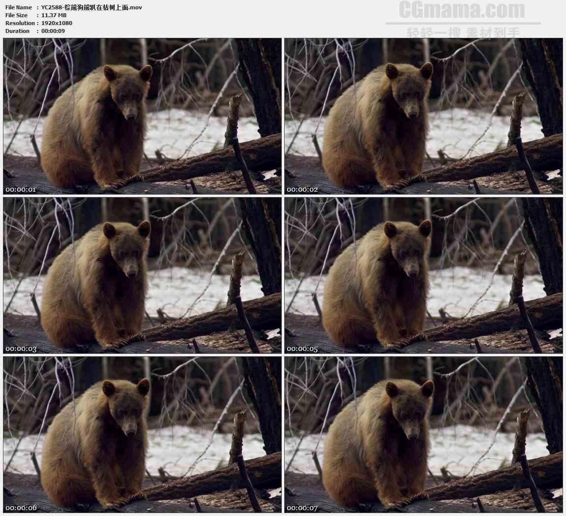 YC2588-棕熊狗熊趴在枯树上面高清实拍视频素材