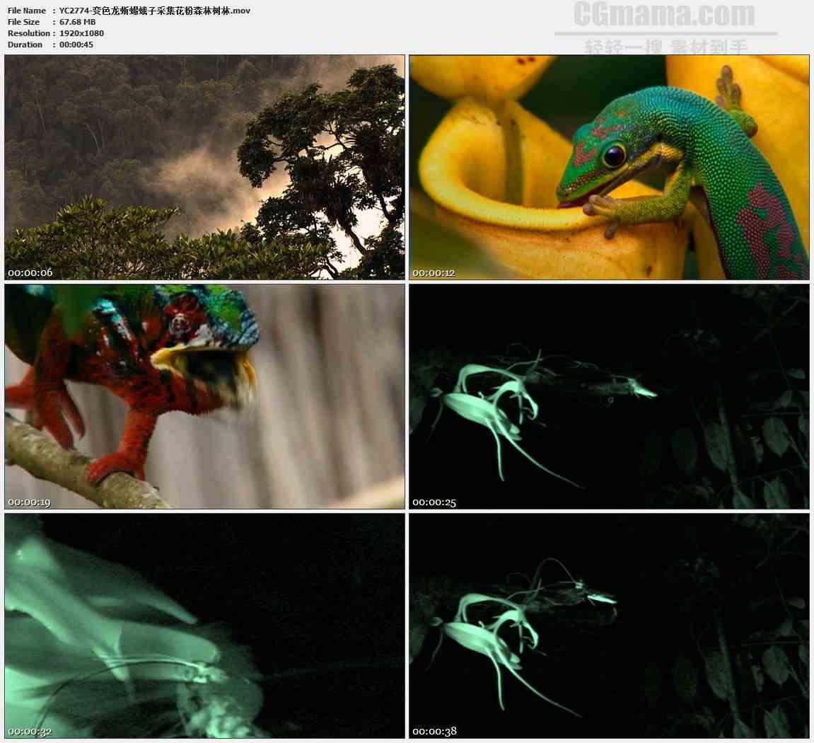 YC2774-变色龙蜥蜴蛾子采集花粉森林树林高清实拍视频素材