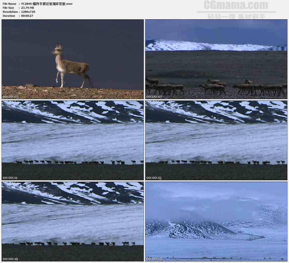 YC2840-藏羚羊群迁徙湖岸苍原高清实拍视频素材