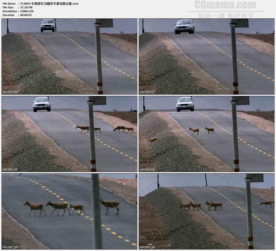 YC2849-车辆停车为藏羚羊群动物让路高清实拍视频素材