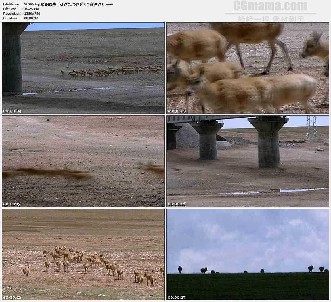 YC2851-迁徙的藏羚羊穿过高架桥下生命通道高清实拍视频素材