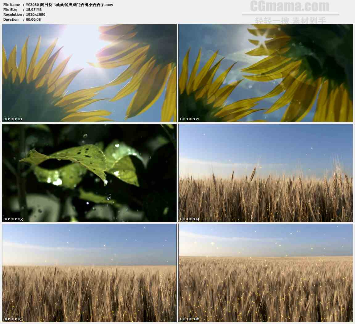 YC3080-向日葵下雨雨滴成熟的麦田小麦麦子高清实拍视频素材