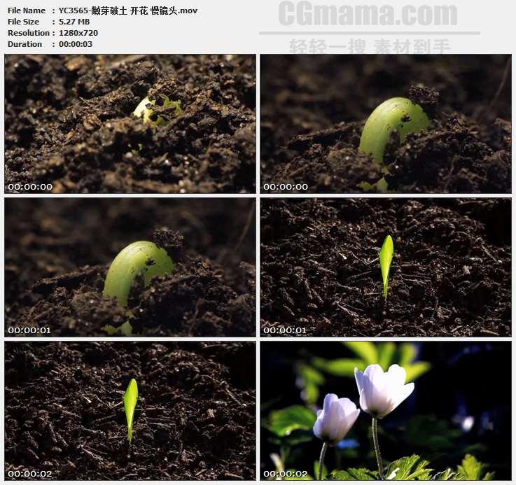 YC3565-嫩芽破土 开花 慢镜头高清实拍视频素材