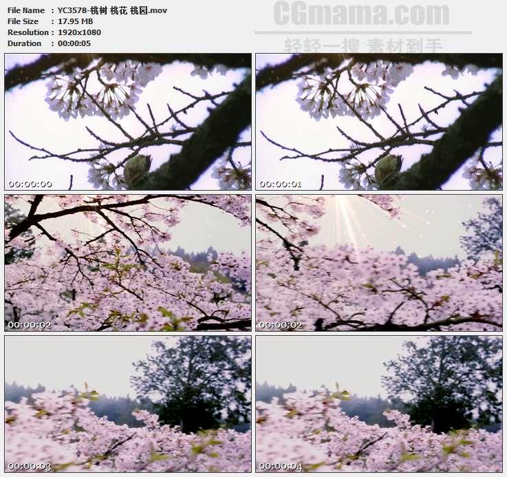 YC3578-桃树 桃花 桃园高清实拍视频素材