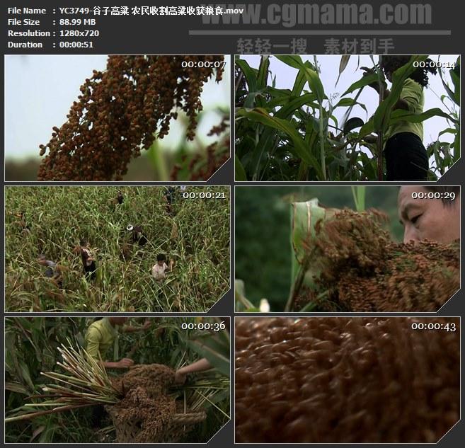 YC3749-谷子高粱 农民收割高粱收获粮食高清实拍视频素材
