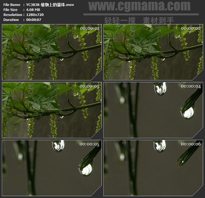 YC3838-植物上的露珠高清实拍视频素材