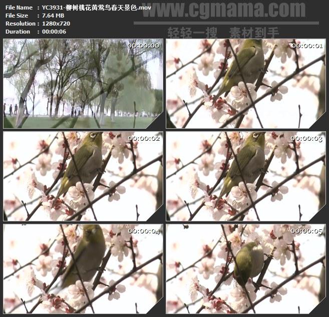 YC3931-柳树桃花黄莺鸟春天景色高清实拍视频素材