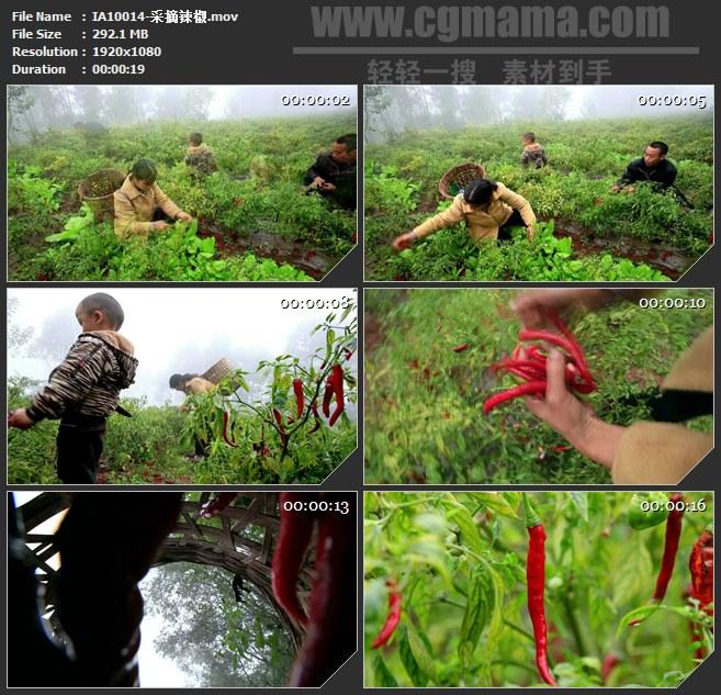 IA10014-农民采摘红辣椒高清实拍视频素材