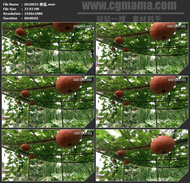IA10033-有机菜园农作物南瓜高清实拍视频素材