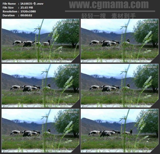 IA10035-牛群奶牛高清实拍视频素材