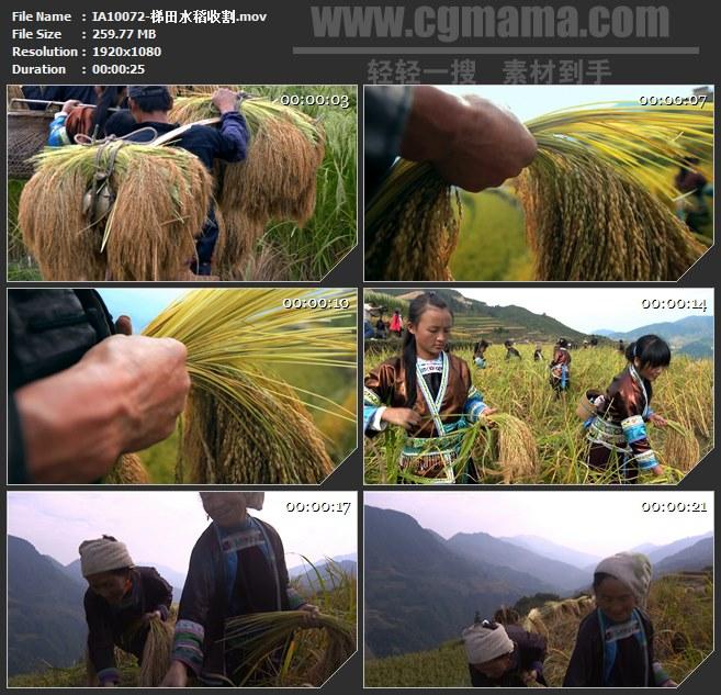 IA10072-少数民族梯田水稻收割稻子高清实拍视频素材