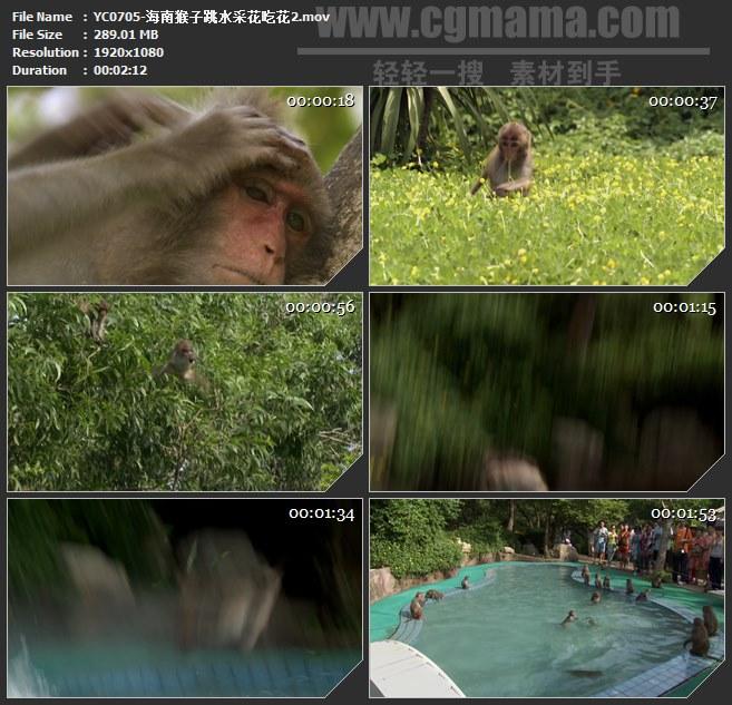 YC0705-海南猴子跳水采花吃花高清实拍视频素材
