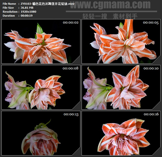 ZY0103-橘色花色并蹄莲开花绽放高清实拍视频素材