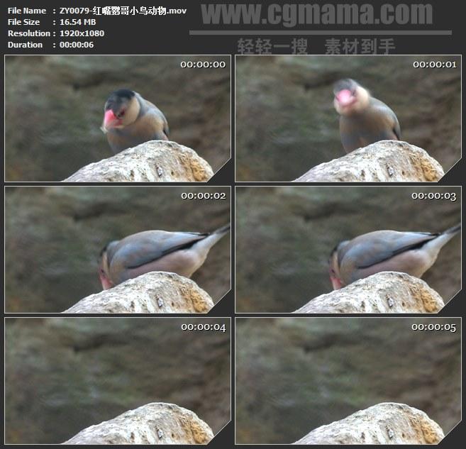 vZY0079-红嘴鹦哥小鸟动物 高清实拍视频素材