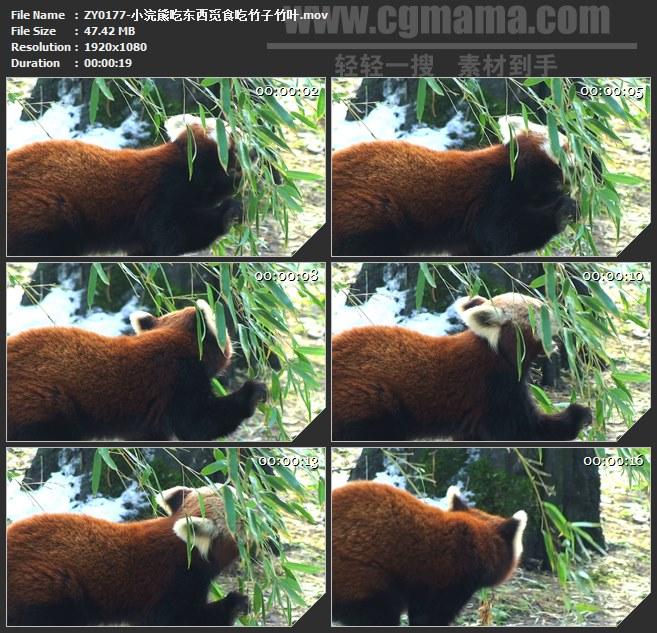 ZY0177-小浣熊吃东西觅食吃竹子竹叶 高清实拍视频素材