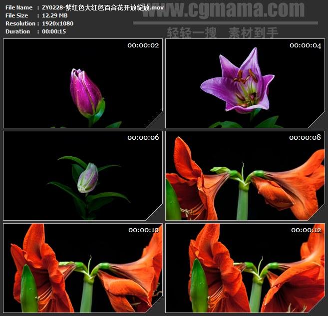 ZY0228-紫红色大红色百合花开放绽放高清实拍视频素材