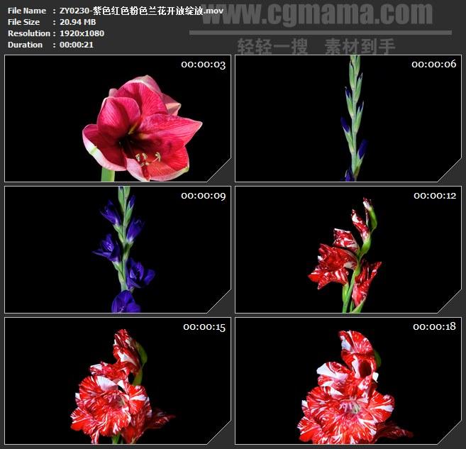 ZY0230-紫色红色粉色兰花开放绽放 高清实拍视频素材
