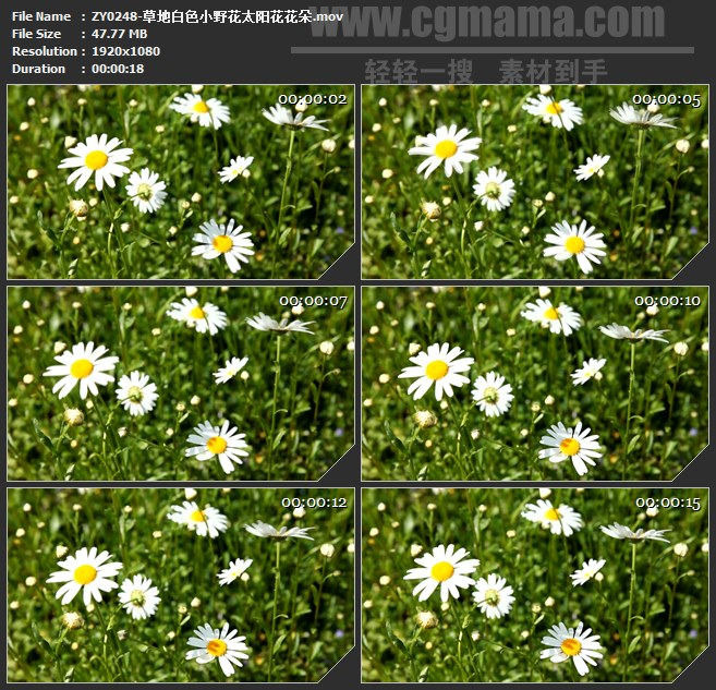 ZY0248-草地白色小野花太阳花花朵高清实拍视频素材