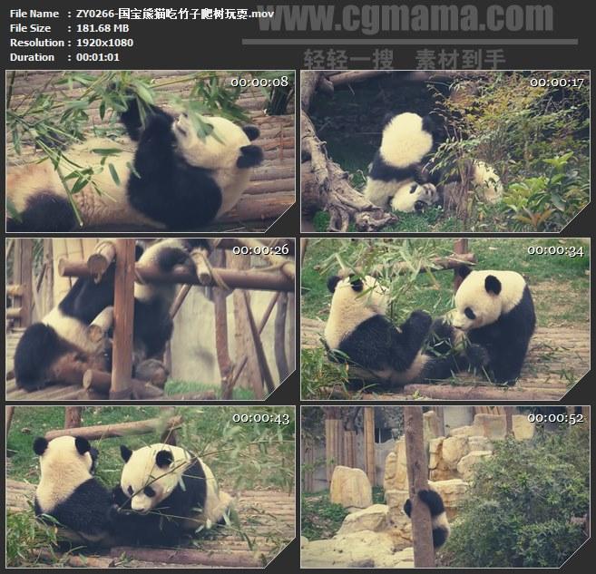 ZY0266-国宝熊猫吃竹子爬树玩耍 高清实拍视频素材