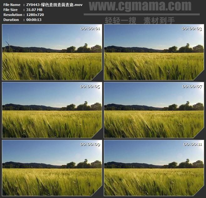 ZY0443-绿色麦田麦苗麦浪 高清实拍视频素材