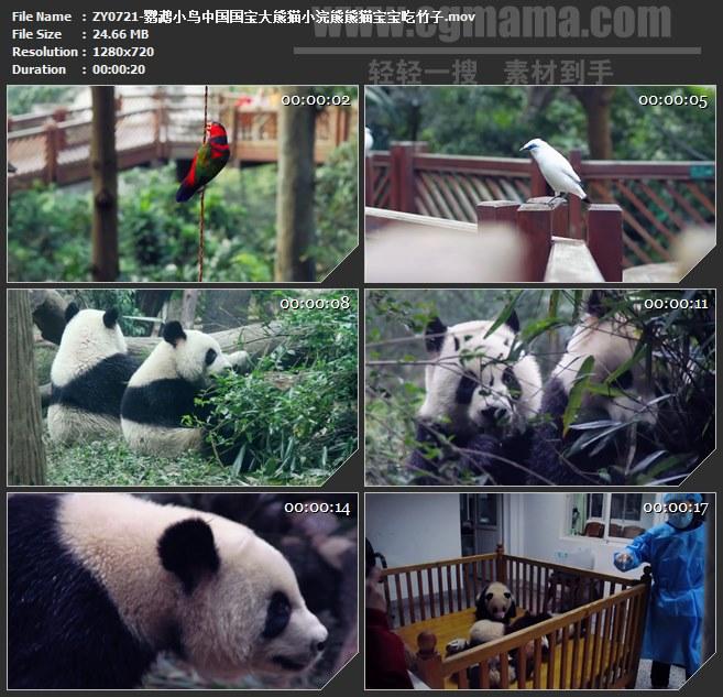 ZY0721-鹦鹉小鸟中国国宝大熊猫小浣熊熊猫宝宝吃竹子 高清实拍视频素材