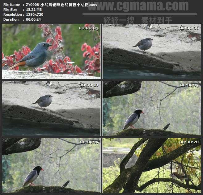 ZY0908-小鸟麻雀画眉鸟树枝小动物 高清实拍视频素材