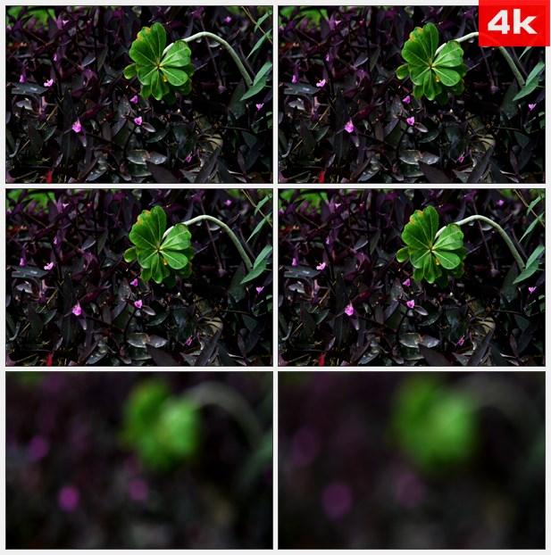 4K0005紫色植物绿色树叶特写 高清实拍视频素材