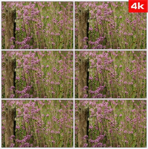 4K0006紫色小花野花花朵花丛 高清实拍视频素材