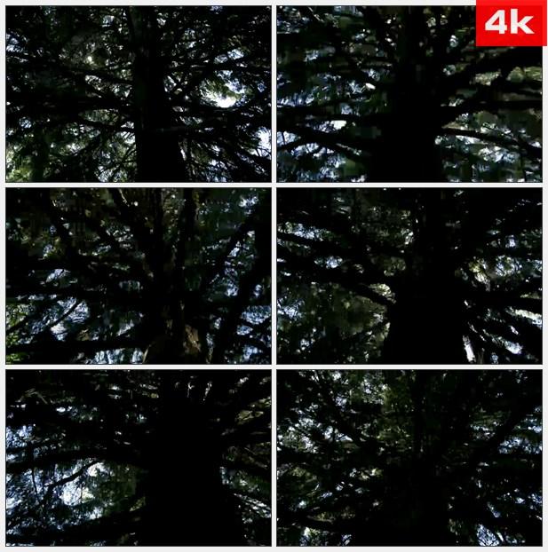 4K0058仰望大树不停地旋转高清实拍视频素材