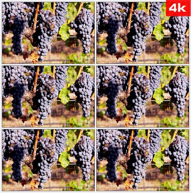 4K0074阳光明媚葡萄园里的葡萄 高清实拍视频素材