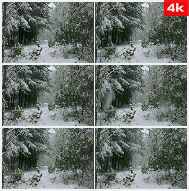 4K0093雪落在俄勒冈森林的树木 高清实拍视频素材