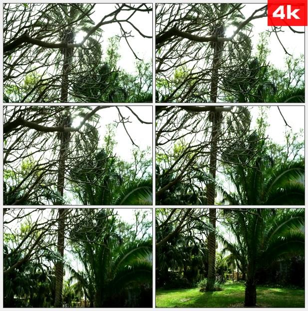 4K0149铁树树枝树干 高清实拍视频素材