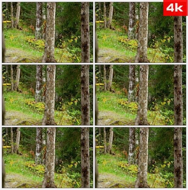 4K0167松鼠从树上跳下 高清实拍视频素材