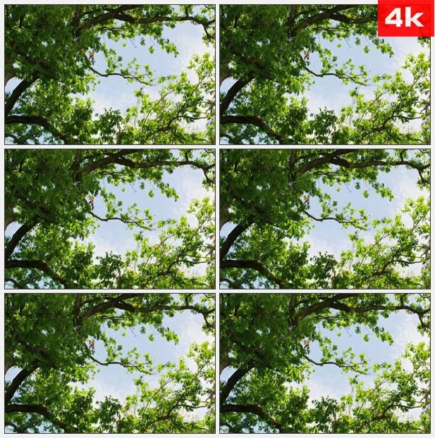 4K0177树冠朝向蓝色的天空 高清实拍视频素材