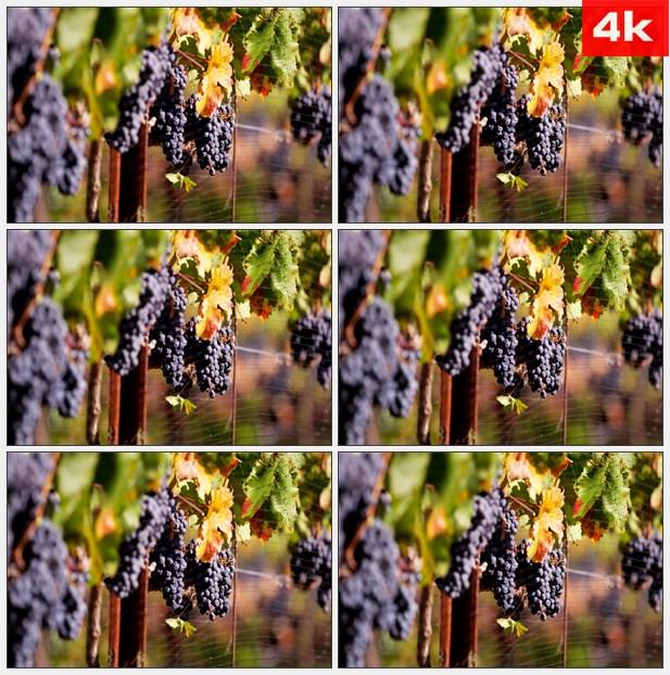 4K0261葡萄园的葡萄在篱笆上 特写 高清实拍视频素材