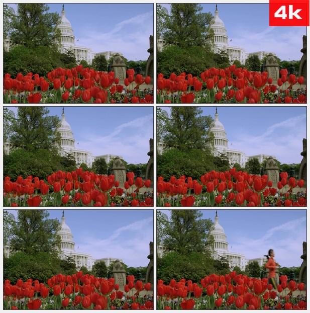 4K0322美国国会大楼红色郁金香花美景 高清实拍视频素材