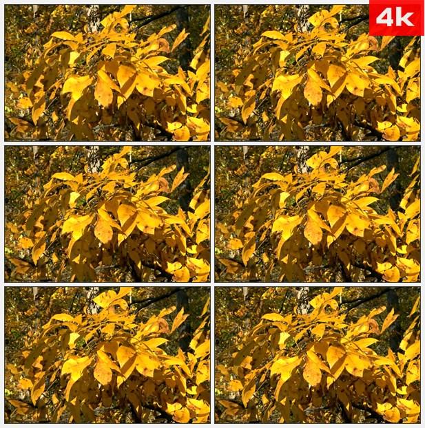 4K0411黄色的叶子在微风中颤动 高清实拍视频素材
