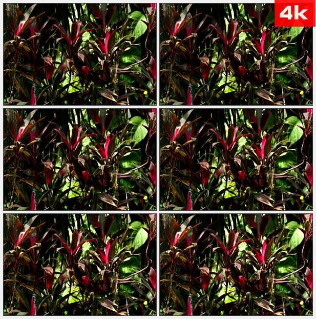 4K0447红绿灌木彩叶植物 高清实拍视频素材