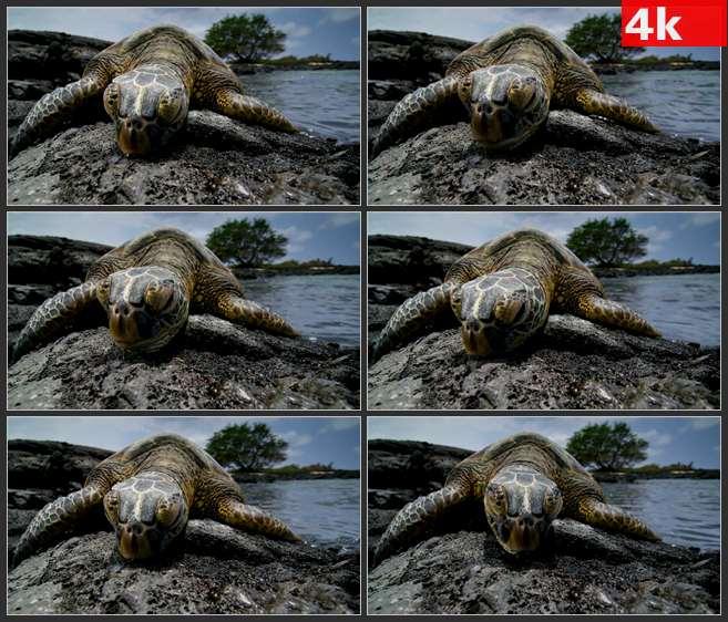 4K0481海龟正面拍摄 高清实拍视频素材