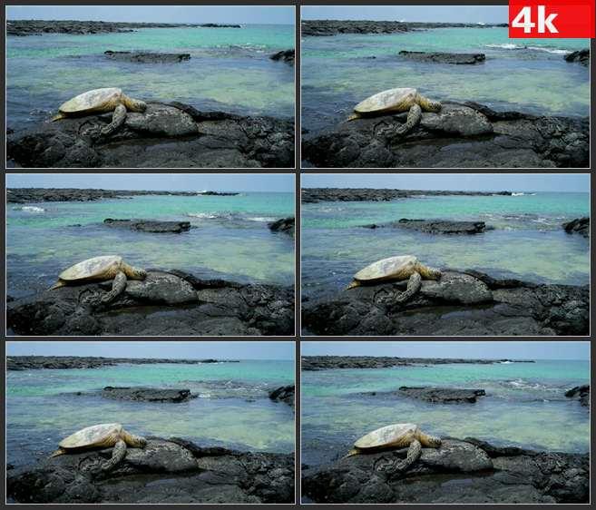 4K0482海龟在岩石上产卵 高清实拍视频素材
