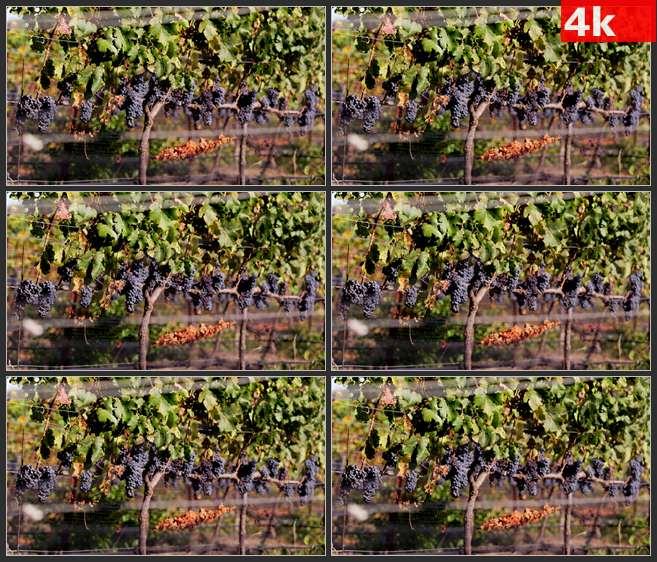 4K0521挂满枝头的葡萄树在风中轻微颤动 高清实拍视频素材