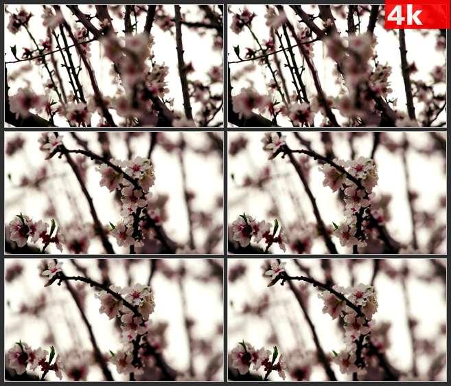 4K0624春天桃花桃枝特写美景 高清实拍视频素材