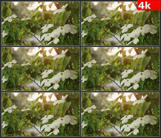 4K0691白色花瓣微风颤动 高清实拍视频素材