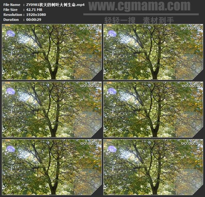 ZY0981秋天的树叶大树生命高清实拍视频素材