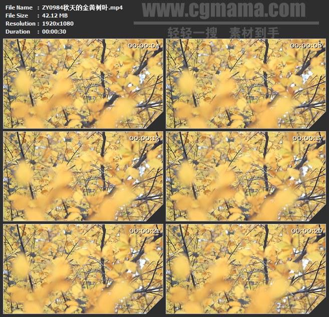 ZY0984秋天的金黄树叶高清实拍视频素材