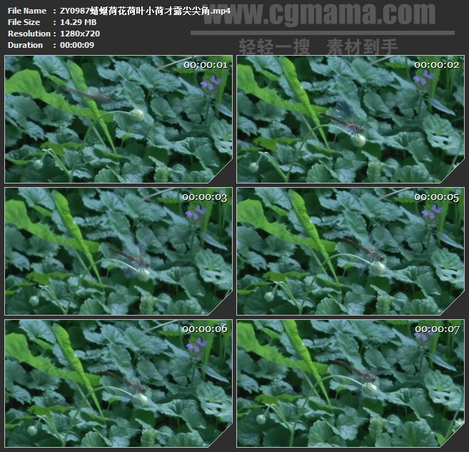 ZY0987蜻蜓荷花荷叶小荷才露尖尖角高清实拍视频素材